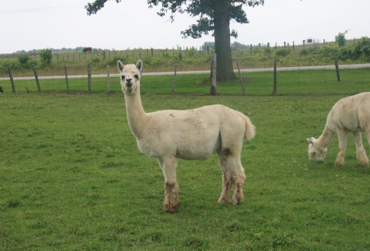 Lolobrigida | DL Farms Alpaca